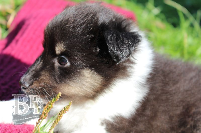 Black_Pearls_Paradise_Shelties_B-Wurf_800X40061.jpg