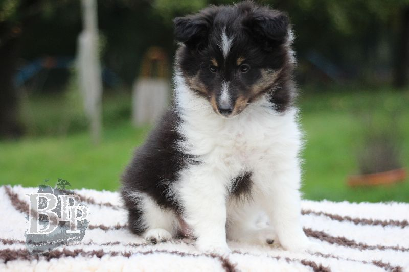 Black_Pearls_Paradise_Shelties_B-Wurf_800X40063.jpg