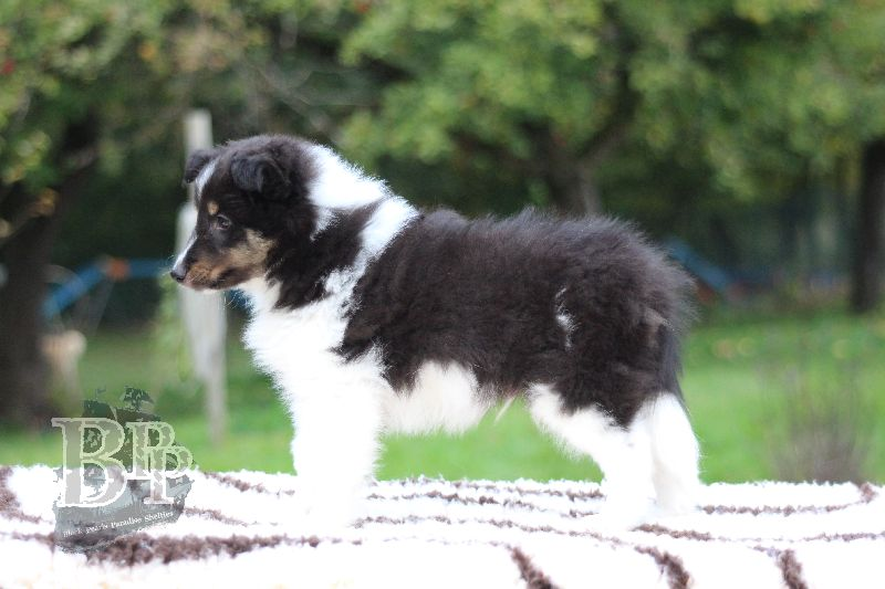 Black_Pearls_Paradise_Shelties_B-Wurf_800X40065.jpg