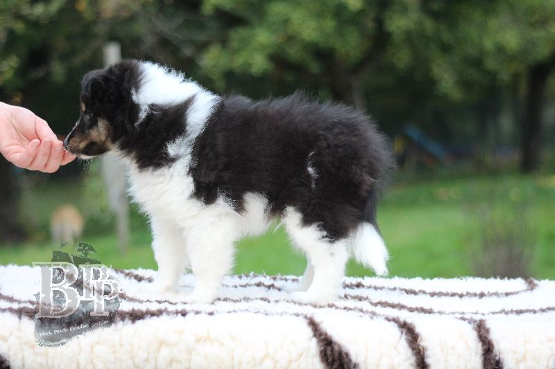 Black_Pearls_Paradise_Shelties_B-Wurf_800X40066.jpg