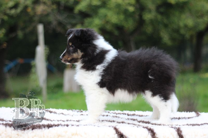 Black_Pearls_Paradise_Shelties_B-Wurf_800X40067.jpg