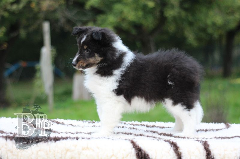 Black_Pearls_Paradise_Shelties_B-Wurf_800X40068.jpg