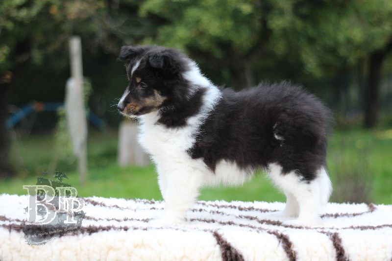 Black_Pearls_Paradise_Shelties_B-Wurf_800X40069.jpg