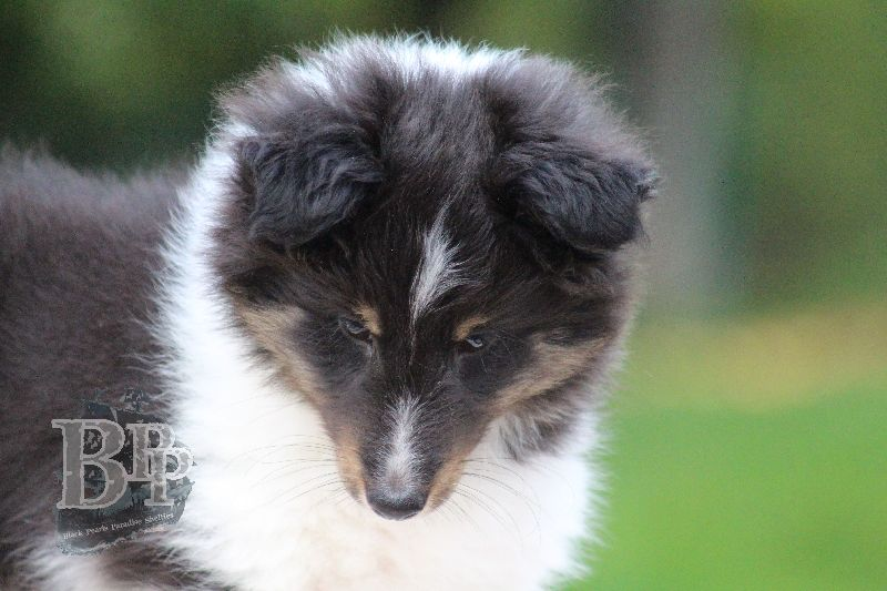 Black_Pearls_Paradise_Shelties_B-Wurf_800X40070.jpg