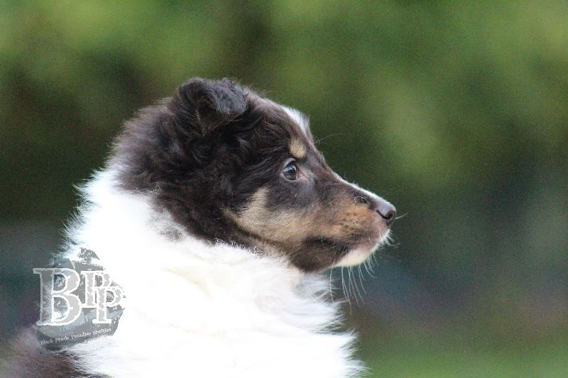 Black_Pearls_Paradise_Shelties_B-Wurf_800X40072.jpg