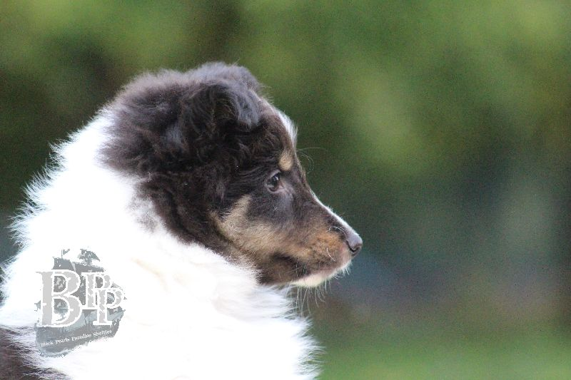 Black_Pearls_Paradise_Shelties_B-Wurf_800X40073.jpg