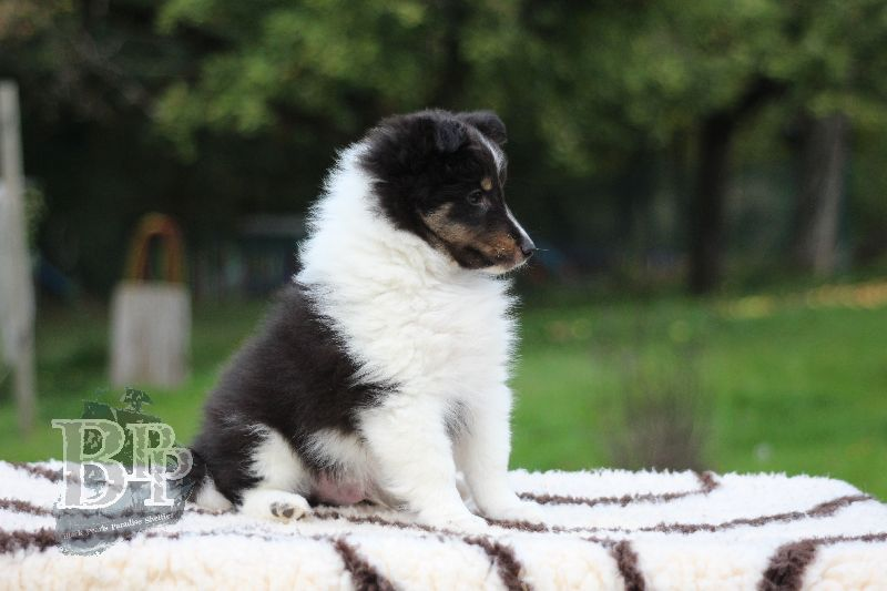 Black_Pearls_Paradise_Shelties_B-Wurf_800X40074.jpg
