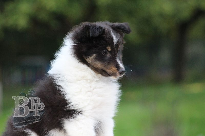 Black_Pearls_Paradise_Shelties_B-Wurf_800X40075.jpg