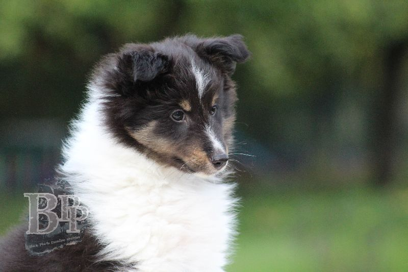 Black_Pearls_Paradise_Shelties_B-Wurf_800X40076.jpg