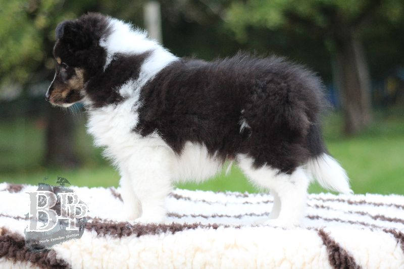 Black_Pearls_Paradise_Shelties_B-Wurf_800X40077.jpg