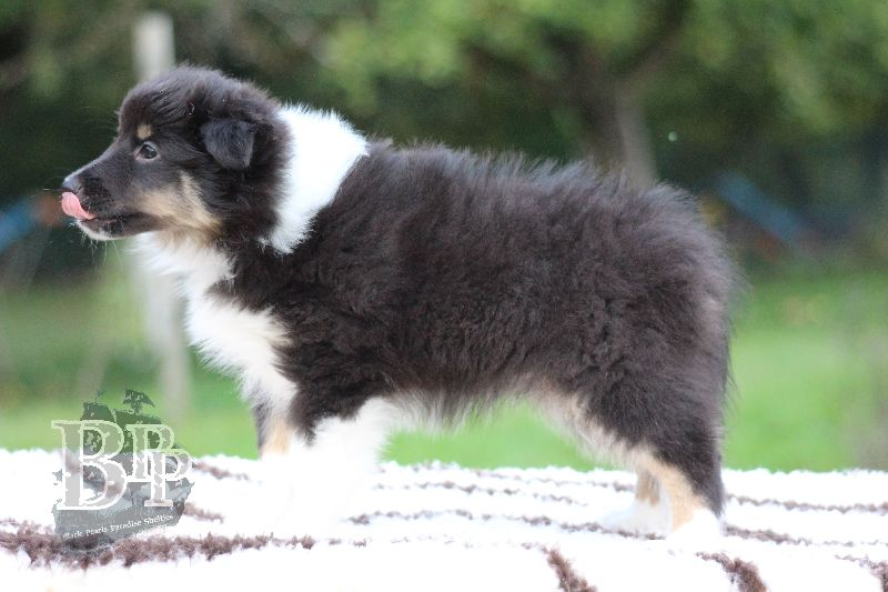 Black_Pearls_Paradise_Shelties_B-Wurf_800X40078.jpg