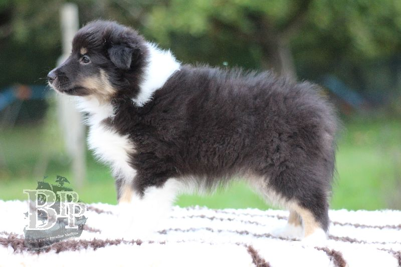 Black_Pearls_Paradise_Shelties_B-Wurf_800X40079.jpg