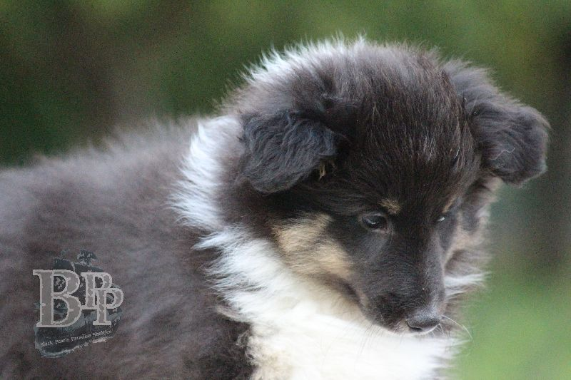 Black_Pearls_Paradise_Shelties_B-Wurf_800X40080.jpg