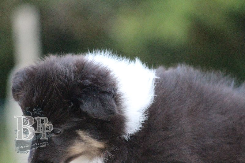 Black_Pearls_Paradise_Shelties_B-Wurf_800X40081.jpg