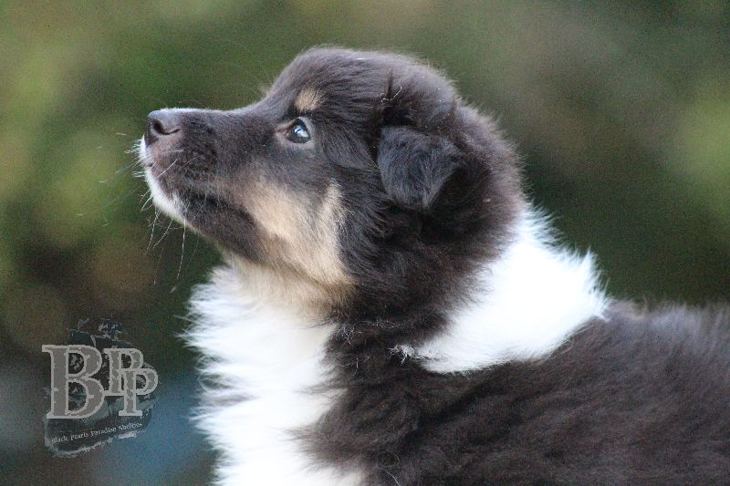 Black_Pearls_Paradise_Shelties_B-Wurf_800X40082.jpg