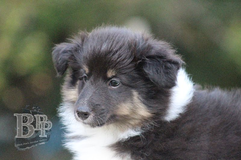Black_Pearls_Paradise_Shelties_B-Wurf_800X40083.jpg