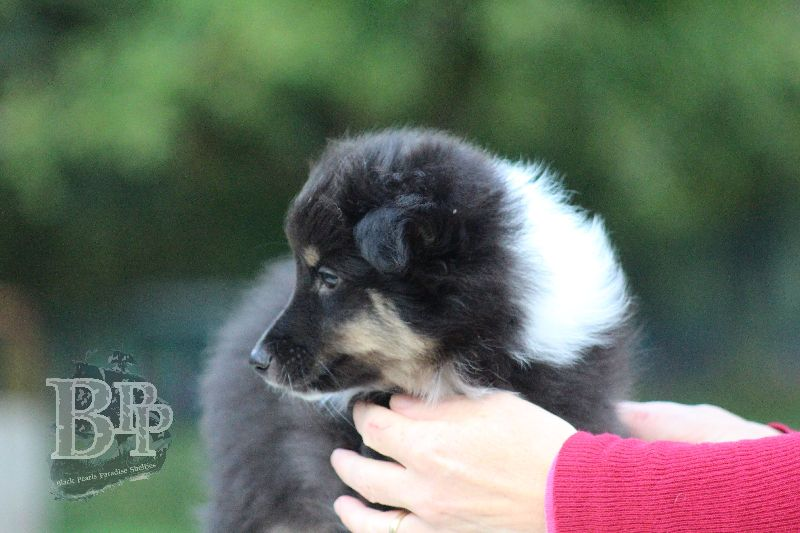 Black_Pearls_Paradise_Shelties_B-Wurf_800X40085.jpg
