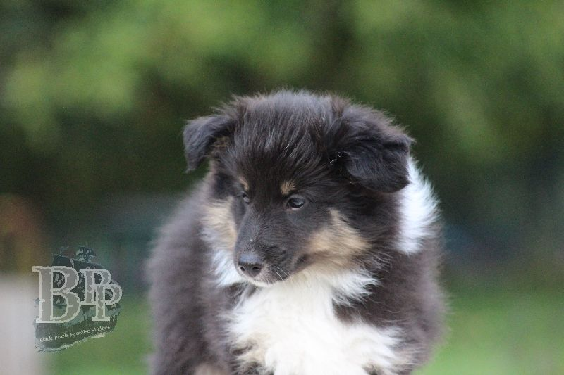 Black_Pearls_Paradise_Shelties_B-Wurf_800X40086.jpg
