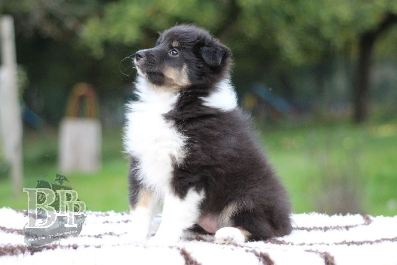Black_Pearls_Paradise_Shelties_B-Wurf_800X40087.jpg