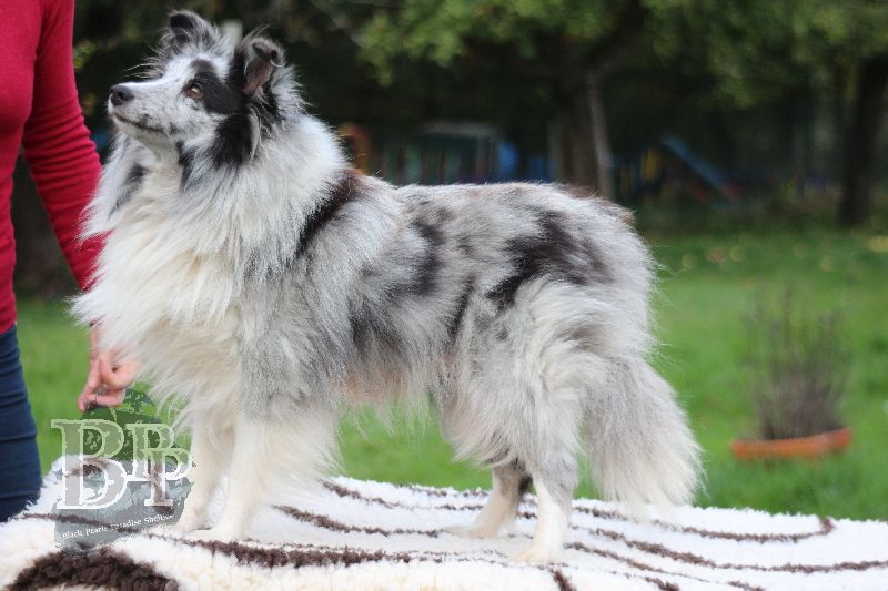 Black_Pearls_Paradise_Shelties_B-Wurf_800X40088.jpg
