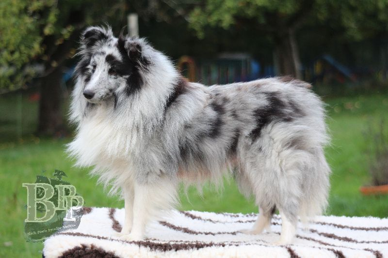 Black_Pearls_Paradise_Shelties_B-Wurf_800X40089.jpg