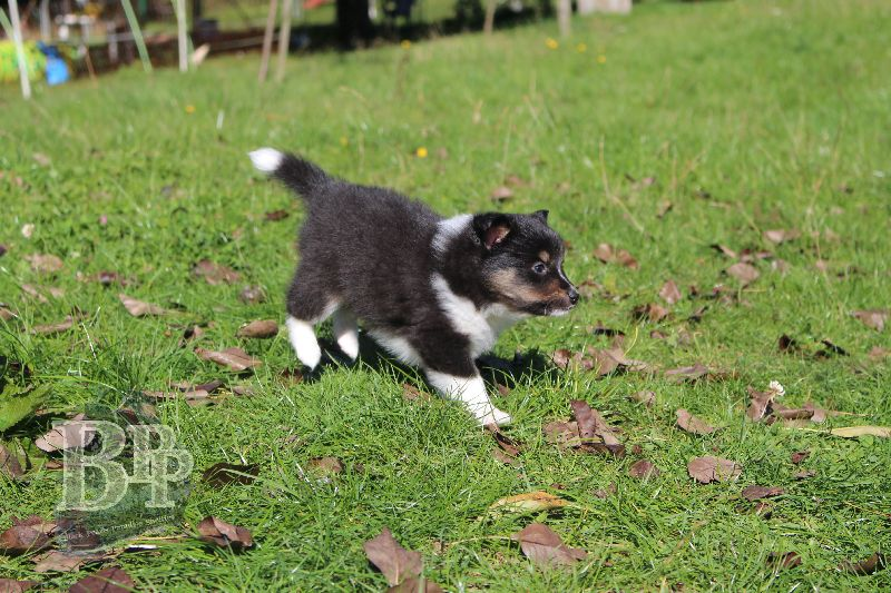 Black_Pearls_Paradise_Shelties_B-Wurf_800X4009.jpg
