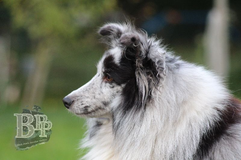 Black_Pearls_Paradise_Shelties_B-Wurf_800X40090.jpg