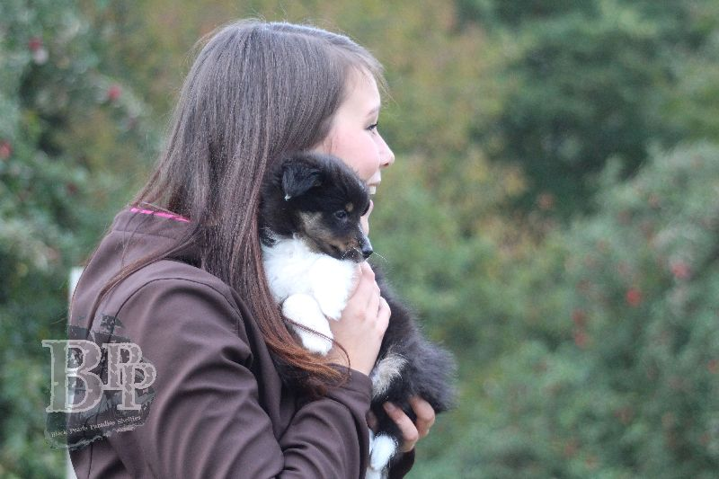Black_Pearls_Paradise_Shelties_B-Wurf_800X40091.jpg