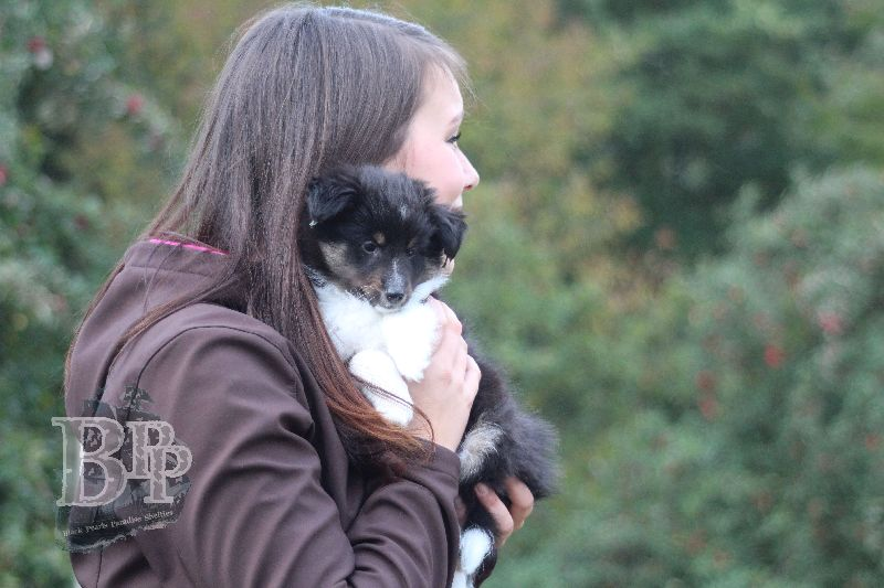 Black_Pearls_Paradise_Shelties_B-Wurf_800X40092.jpg