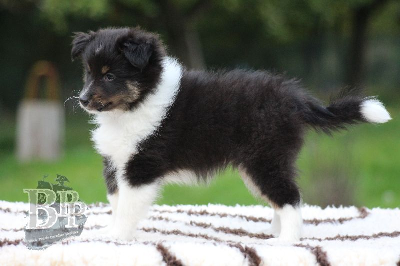 Black_Pearls_Paradise_Shelties_B-Wurf_800X40094.jpg