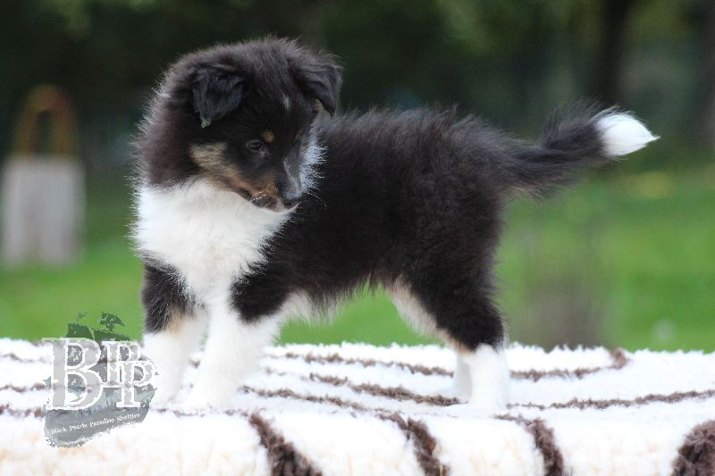 Black_Pearls_Paradise_Shelties_B-Wurf_800X40095.jpg
