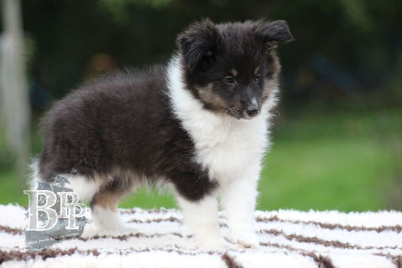 Black_Pearls_Paradise_Shelties_B-Wurf_800X40098.jpg