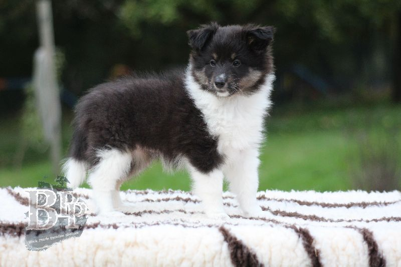 Black_Pearls_Paradise_Shelties_B-Wurf_800X40099.jpg