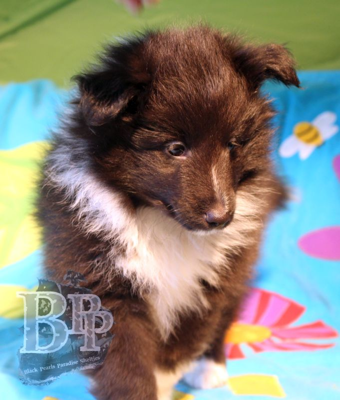 Black_Pearls_Paradise_Shelties_C-Wurf_800X400_1.jpg