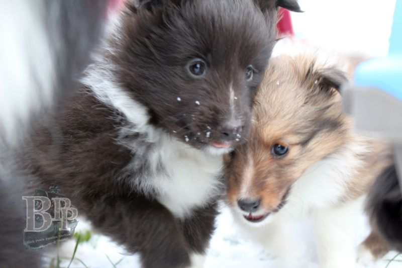 Black_Pearls_Paradise_Shelties_C-Wurf_800X400_10.jpg