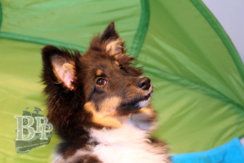 Black_Pearls_Paradise_Shelties_C-Wurf_800X400_32.jpg