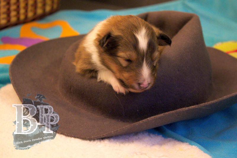 Black_Pearls_Paradise_Shelties_C-Wurf_800X400_47.jpg