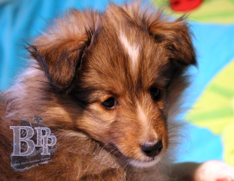 Black_Pearls_Paradise_Shelties_C-Wurf_800X400_48.jpg