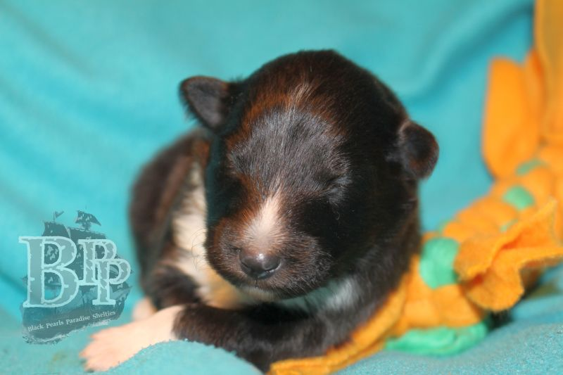 Black_Pearls_Paradise_Shelties_C-Wurf_800X400_53.jpg