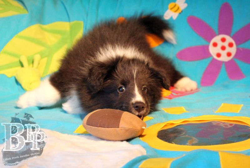 Black_Pearls_Paradise_Shelties_C-Wurf_800X400_59.jpg