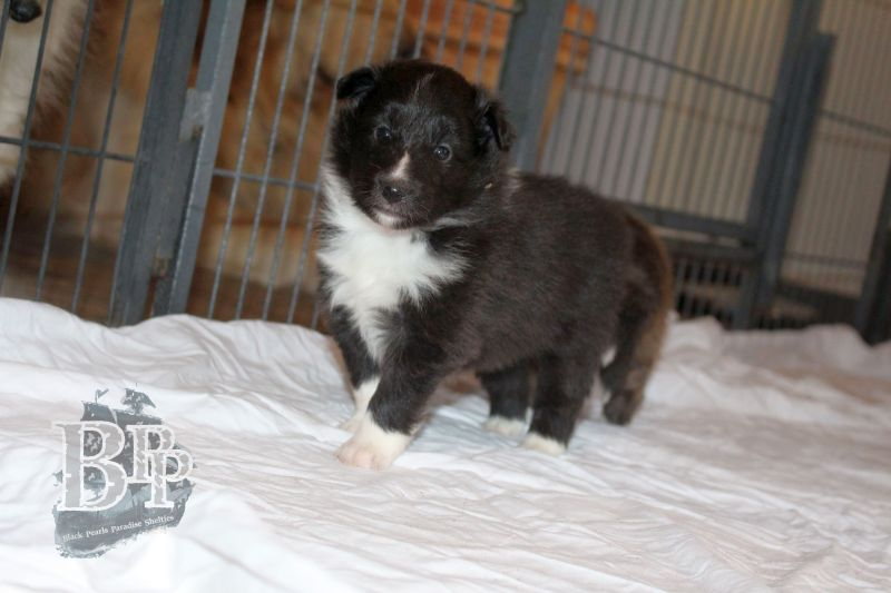 Black_Pearls_Paradise_Shelties_C-Wurf_800X400_62.jpg