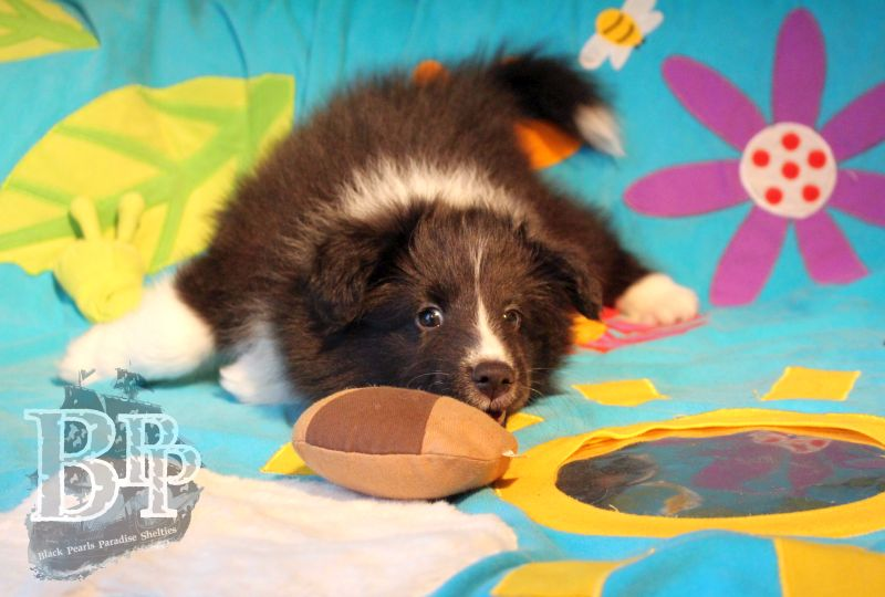 Black_Pearls_Paradise_Shelties_C-Wurf_800X400_69.jpg