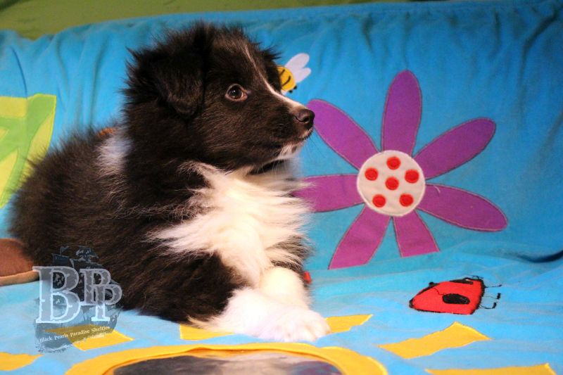 Black_Pearls_Paradise_Shelties_C-Wurf_800X400_73.jpg