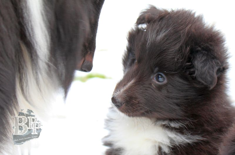 Black_Pearls_Paradise_Shelties_C-Wurf_800X400_8.jpg